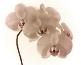 Orchid Dawn II Giclee Print by Katja Marzahn