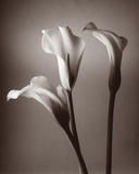 Calla Lily Giclee Print by Bill Philip