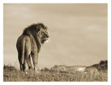 Adult male Lion Print by Joe McDonald