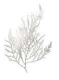 Silver Foil Algae II ポスター : ジェニファー・ゴルトベルガー