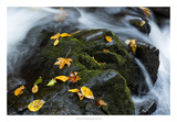 Wet Leaves Giclee Print by Danny Head