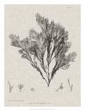 Charcoal & Linen Seaweed V Giclee Print by Henry Bradbury