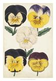 Antique Pansies II Giclee Print