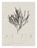 Charcoal & Linen Seaweed IV Giclee Print by Henry Bradbury