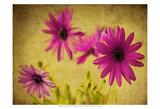 Fuchsia Daisy II Prints by Honey Malek