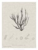 Charcoal & Linen Seaweed VI Giclee Print by Henry Bradbury