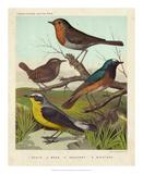 Robin, Wren & Redstart Giclee Print by  Cassell