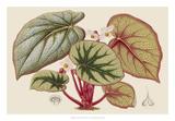 Begonia Varieties IV Giclee Print by  Stroobant