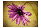 Fuchsia Daisy IV Print by Honey Malek