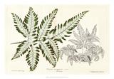 Fern Leaf Foliage II Giclee Print by  Stroobant
