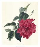 Rose Hibiscus I Giclee Print