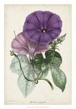 Plum Morning Glory Giclee Print by  Paxton
