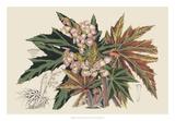 Begonia Varieties I Giclée-tryk af Stroobant
