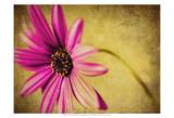 Fuchsia Daisy III Print by Honey Malek