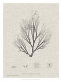 Charcoal & Linen Seaweed III Giclee Print by Henry Bradbury