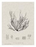 Charcoal & Linen Seaweed I Giclee Print by Henry Bradbury