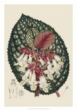 Begonia Varieties III Giclee Print by  Stroobant