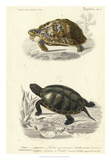 Antique Turtle Duo II Wydruk giclee autor Oudart
