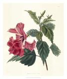 Rose Hibiscus II Giclee Print