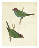 Peruvian Tanager II Giclee Print by  Cassin