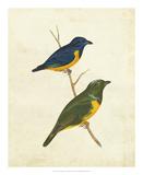 Peruvian Tanager I Impression giclée par  Cassin