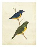 Peruvian Tanager I Giclee Print by  Cassin