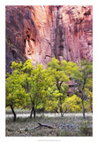 Canyon Cottonwoods Giclee Print by Danny Head