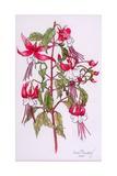 Fuchsias, 2000 Giclee Print by Joan Thewsey
