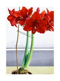 Red Amaryllis 2 Giclee Print by Christopher Ryland
