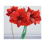 Red Amaryllis Giclee Print by Christopher Ryland