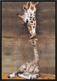 Giraffe, First Kiss Framed Canvas Print by Ron D'Raine