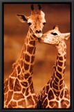 Giraffe, First Love Framed Canvas Print