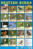 British Birds Poster