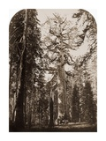 Grizzly Giant - 33 ft. diam. - Mariposa Grove, Yosemite, California, 1861 Posters by Carleton Watkins