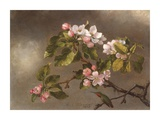 Hummingbird and Apple Blossoms Posters by Martin Johnson Heade