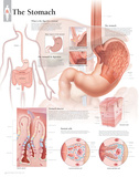The Stomach Laminated Poster Prints
