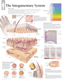 The Integumentary System Wall Laminated Poster Affiches