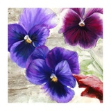 Pansies II Prints by Jenny Thomlinson
