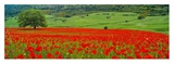 Tree in a field of poppies, Italy Prints by Rolf Hicker