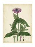 Antique Zinnia Prints by Henry Andrews