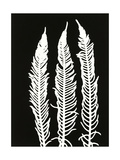 Black Fern 1 Premium Giclee Print by Mary Margaret Briggs