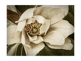 Classic Magnolia I Art by Rachel Perry