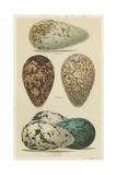 Antique Bird Egg Study I Affiche par Henry Seebohm