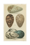 Antique Bird Egg Study I Print by Henry Seebohm