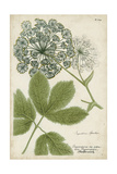 Queen Anne's Lace Prints by  Weinmann