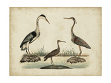 Common Heron and Crested Purple Heron Premium Giclee Print by Friedrich Strack