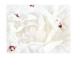 White Linen Peony I Print by Rachel Perry