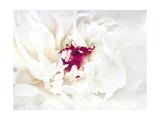 White Linen Peony II Prints by Rachel Perry