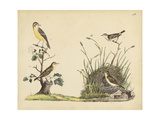 Wrens, Warblers and Nests II Reproduction giclée Premium par Friedrich Strack