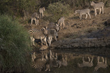 A Herd of Burchell's Zebras at the Water's Edge, and Walking About Photographic Print by Bob Smith